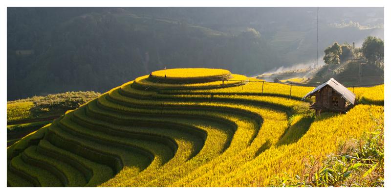 rice paddy yellow